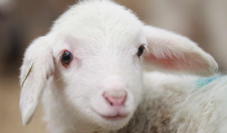 sheep, animal, животные, деревня, ламб,