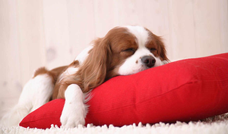fondos, pantalla, perros, para, perro, fondo, durmiendo, escritorio,