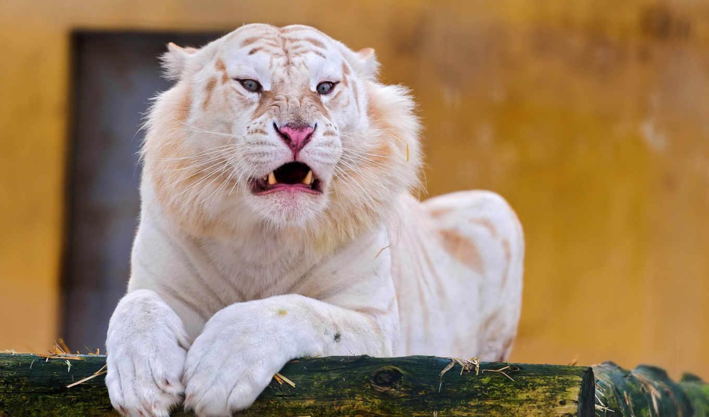 тигры, белые, тигра, природе, тигр, тигров, бенгальского, мутант, иногда, ассаме, который, белых, бенгале, белый, рецессивный, июня, бихаре, встречается, мутация,