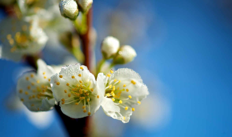 макро, цветы, branch, весна, капли,
