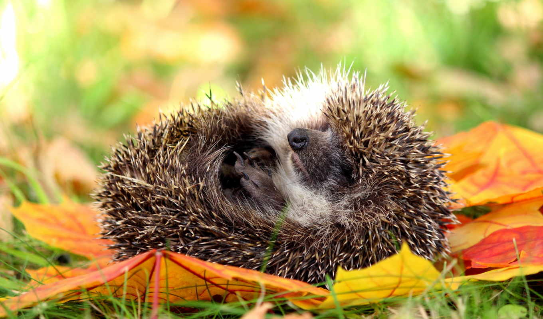 осень, животные, любят, наслаждаются, резвятся, радостью, живописной, разноцветных, только, осенней, листьях,