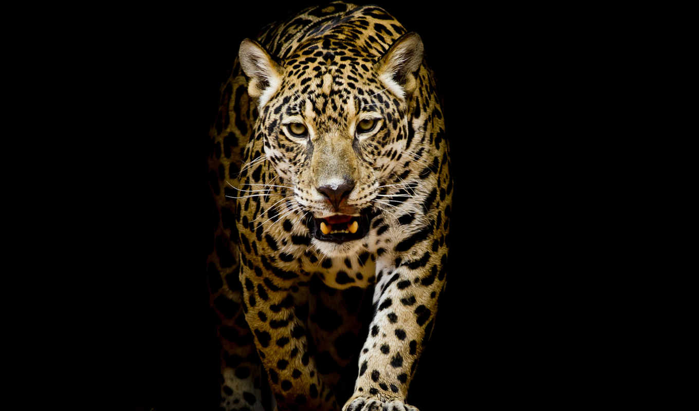 леопард, кот, animals, pinterest, jaguar, биг, android,