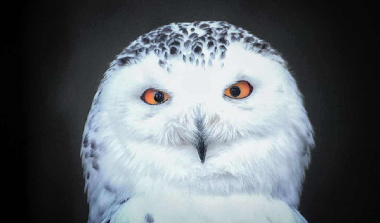 snowy, owls, сова,