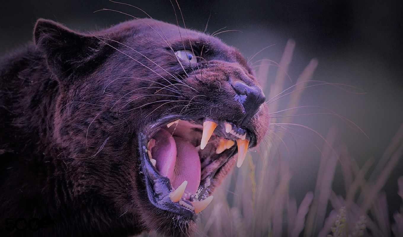 panther, black, пантера, enojado, черная, negra,