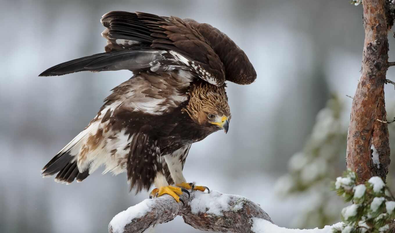 hawk, перепелятник, орлан, птица, berkut
