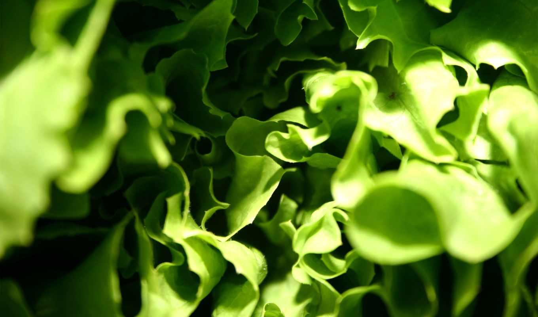 салат, листва, взгляд, растительный, зелёный, useful,