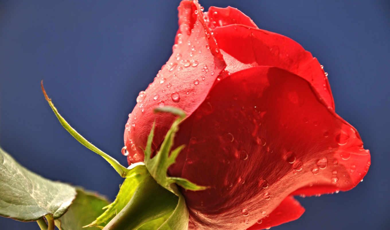 Фото красный бутон с каплей росы