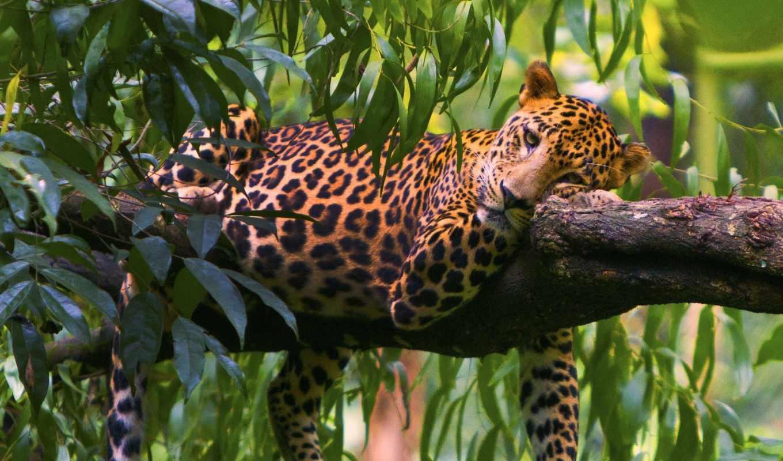 красивые, большая, леопард, хищник, листва, морда, животных, леопарды, zhivotnye,