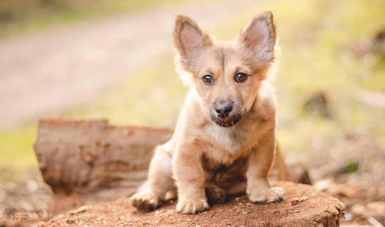 zhivotnye, corgi, собаки, вельш, природа, страница, уже, загружено, коллекция, лучшая,