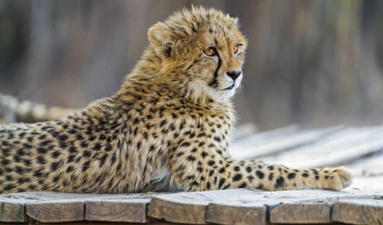 кошка, park, lion, have, гепард,
