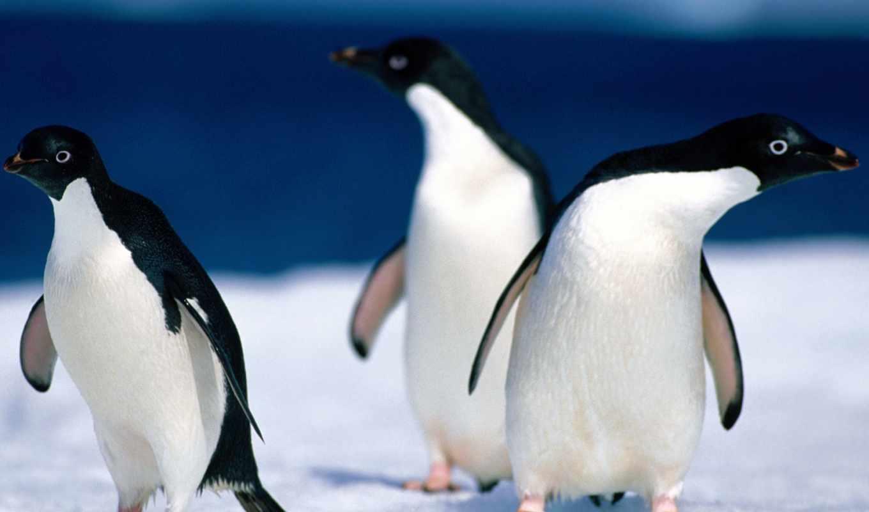 пингвины, смешные, птицы,