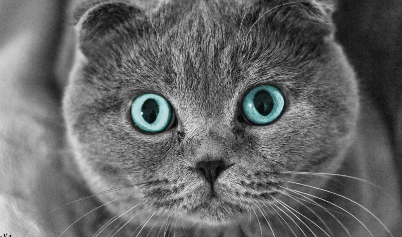 кот, вислоухий, scottish, глаза,