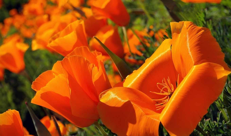 california, кристи, cvety, poppy, mack, christy, незабудка, эшшольция,