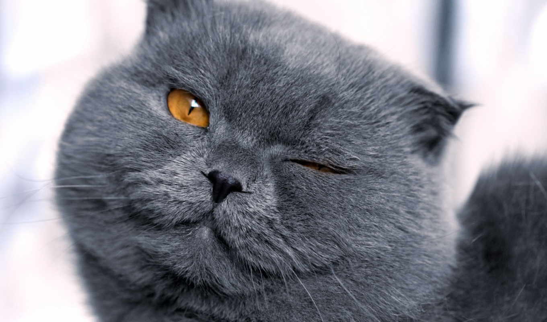 кот, british, grumpy, кошки, forecast,