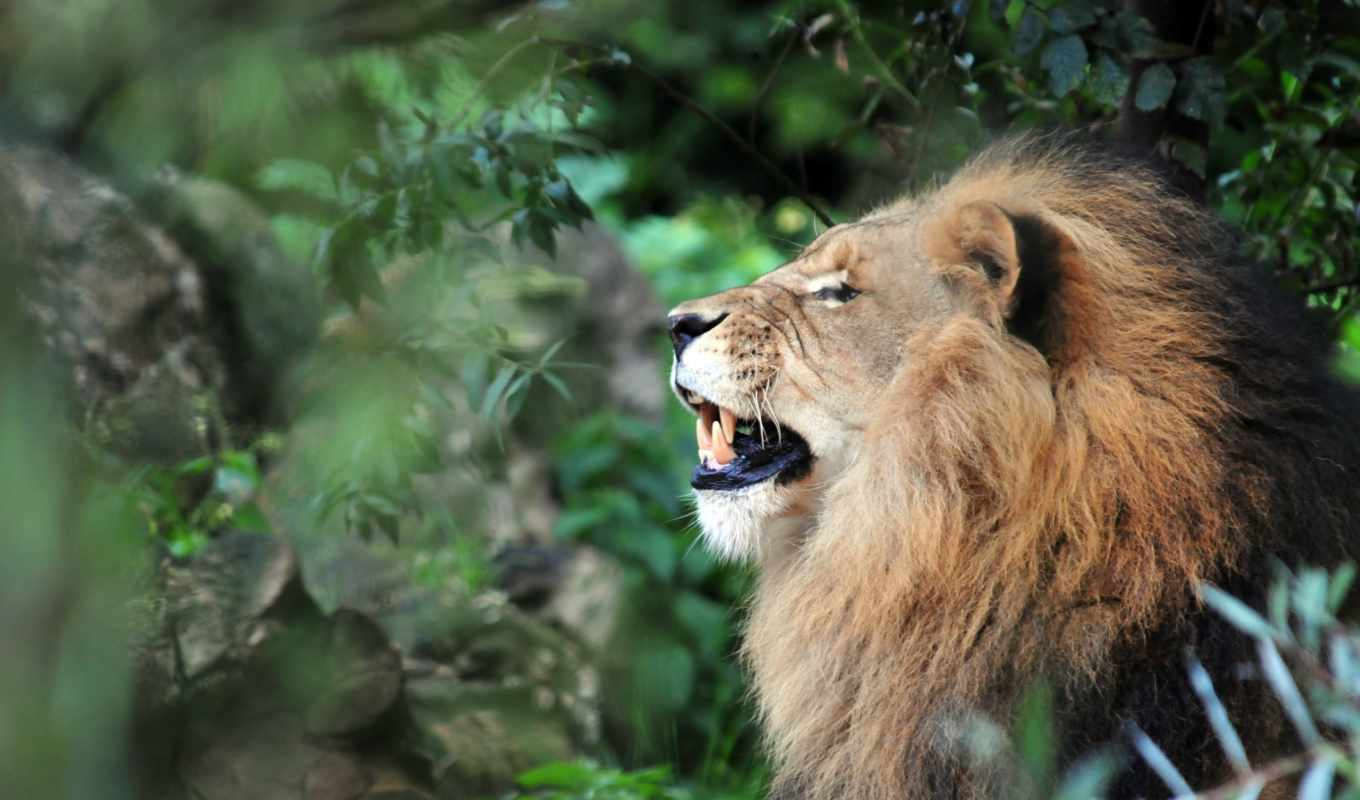lion, jungle,