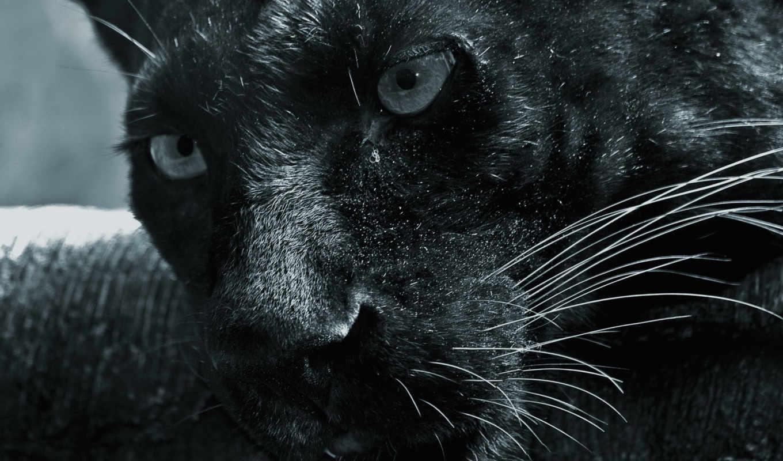 широкоформатные, ассорти, net, عکس, black, panther, пантера, unibytes, wallpapers, letitbit,