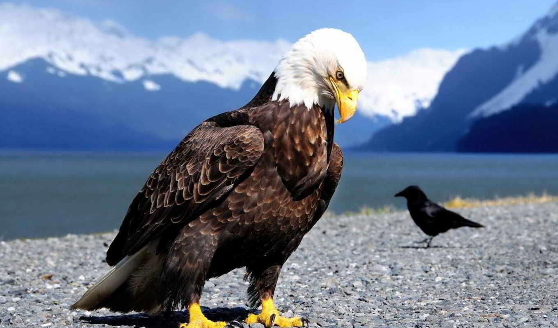 орлан, птица, ворона,