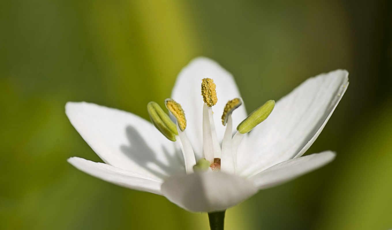 white, цветы, макро, чеснок, трава, пестик,