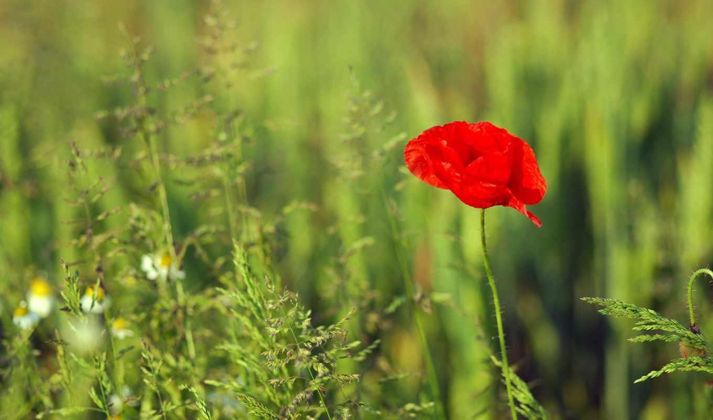 цветы, мак, широкоформатные, красный,
