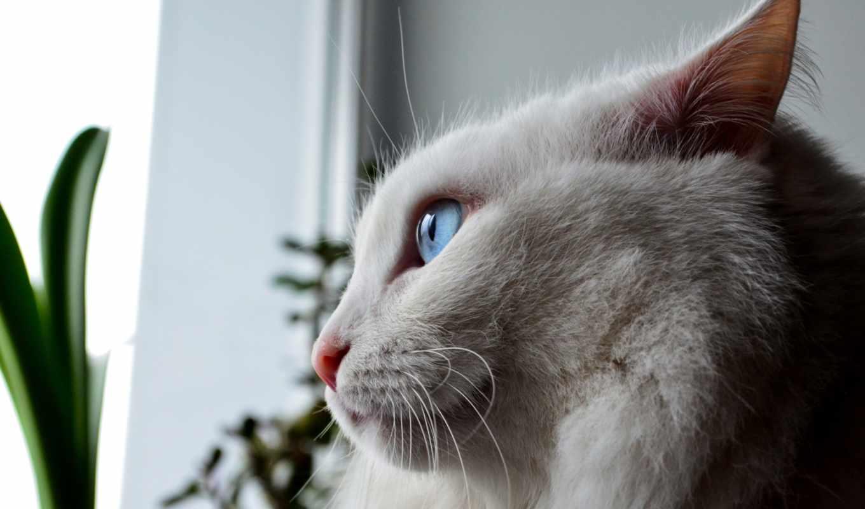 шляпа, глаза, пушистый, белый, times, котенок,