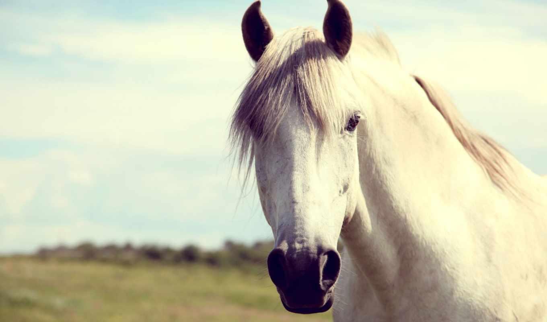 duvar, белая, лошадь, white, аву, kağıdı, канал, telefon,