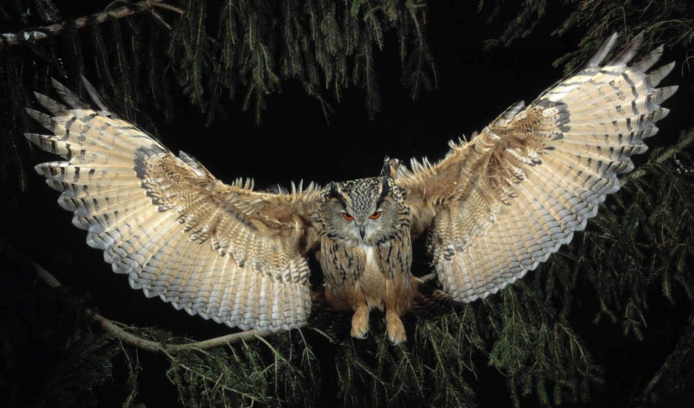 сова, крылья, птица, полет,