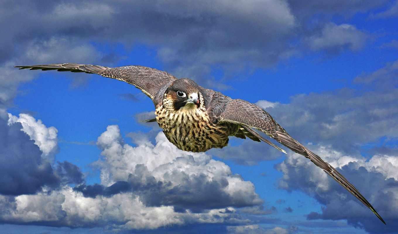 falcon,