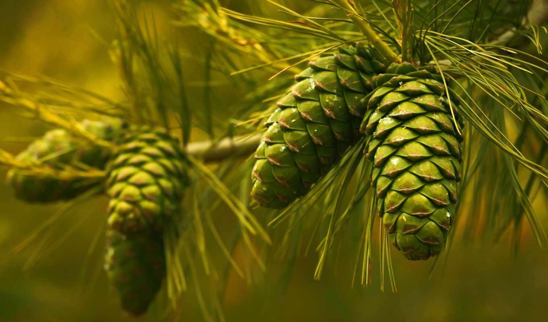 макро, природа, доска, branch, иголки,