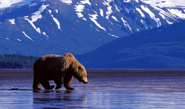 ,вода, медведь, животные, alaska,