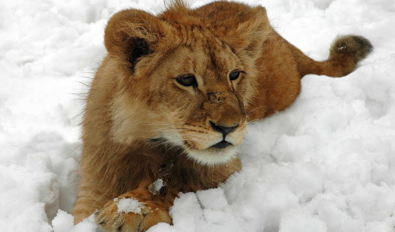lion, winter, кот, снег, детёныш, шерсть, дек,