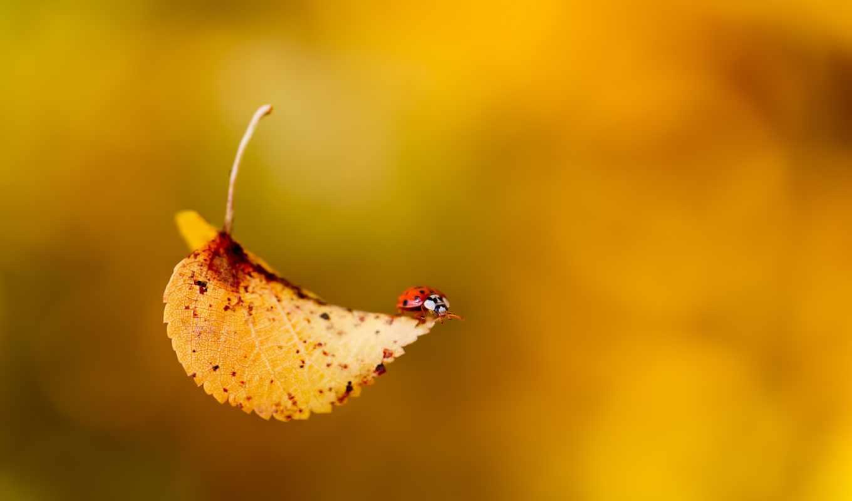 коровка, божья, осень, насекомое, жук, leaf, пасть,