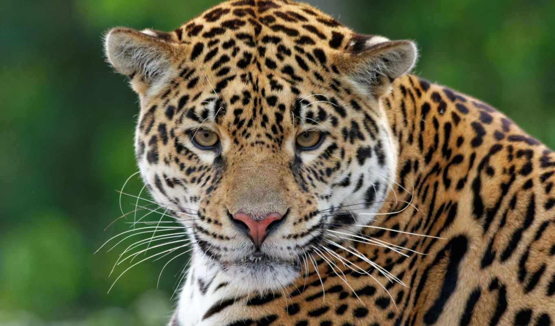 леопард, preview, кот, морда, amur, взгляд, clouded,