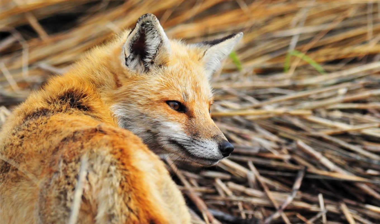 фокс, трава, взгляд, лисы, прогулка,