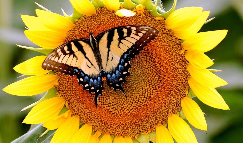 бабочка, подсолнухе, подсолнух, уже,