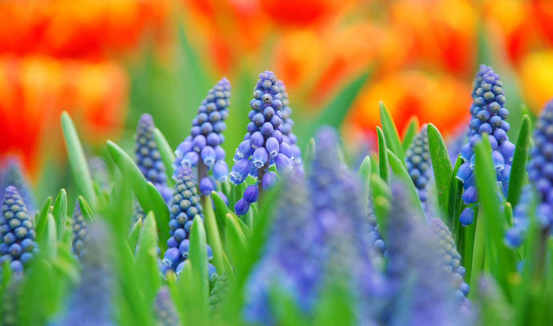цветы, синие, макро, размытость, мускари, поле,