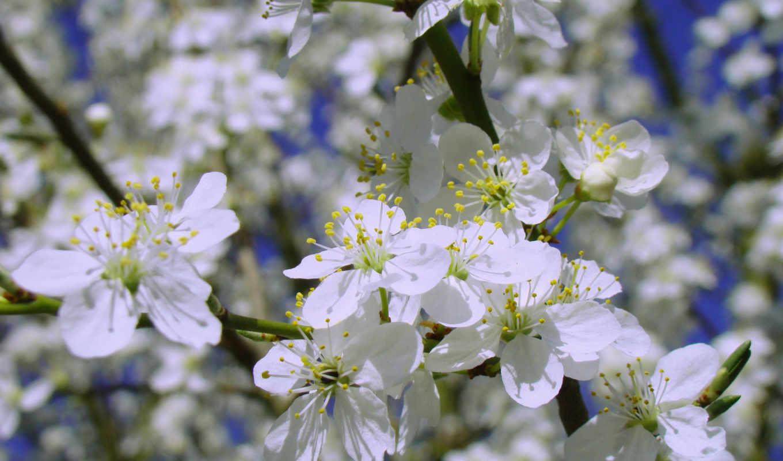 petals, лепестки, flowers, branch,