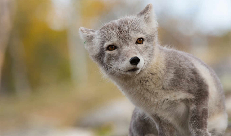 песец, zhivotnye, лиза, арктическая, животное, leto, песцы, полярный, arctic,арктику,рисунки