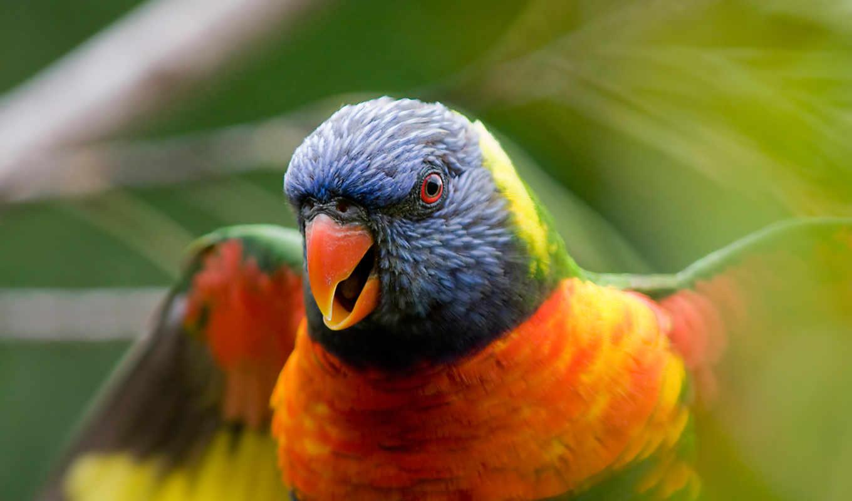 птица, цветная, попугай, птицы,
