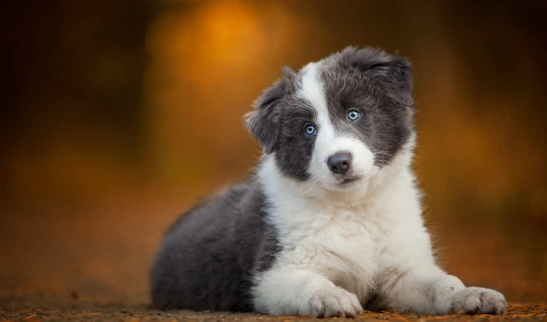 border, колли, blue, eyes, dogs, собака, щенок,