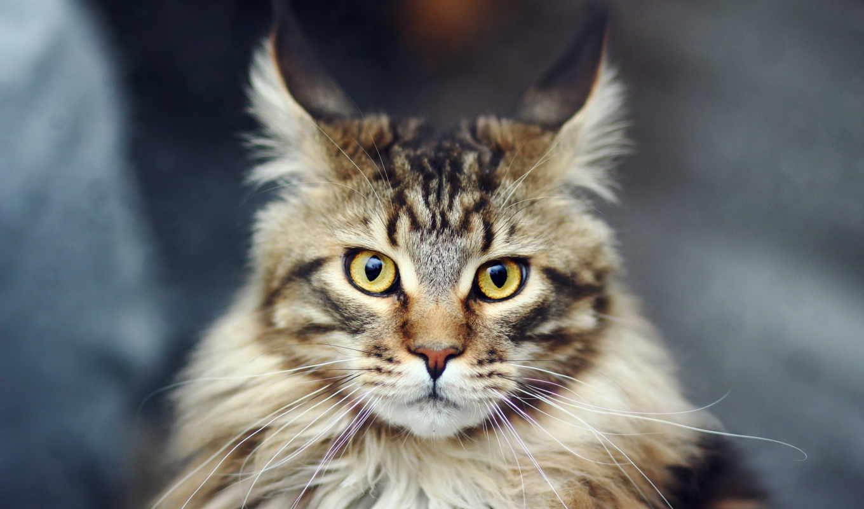 взгляд, кот, лежит, кошки, zhivotnye, striped, mein, kun, прикольный,