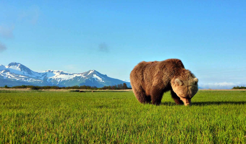 медведь, бурый, травка, совершенно, свой,