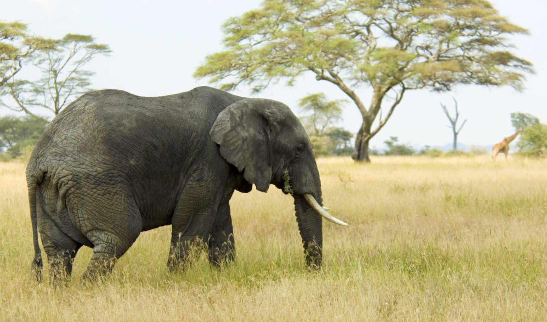mac, слон,