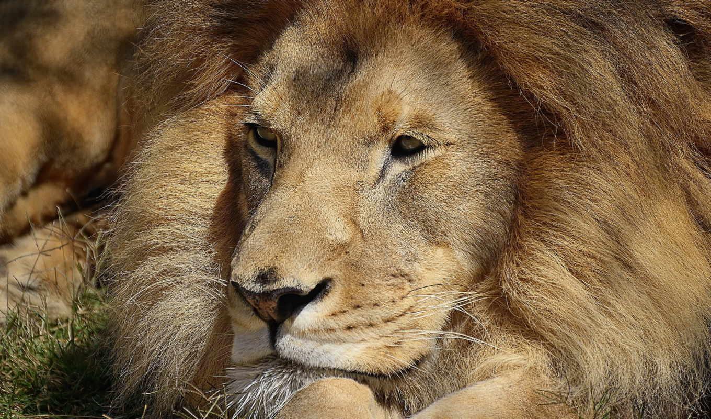 lion, лапы, морда, льва, отдых, лежит, happy, тигры, волки,