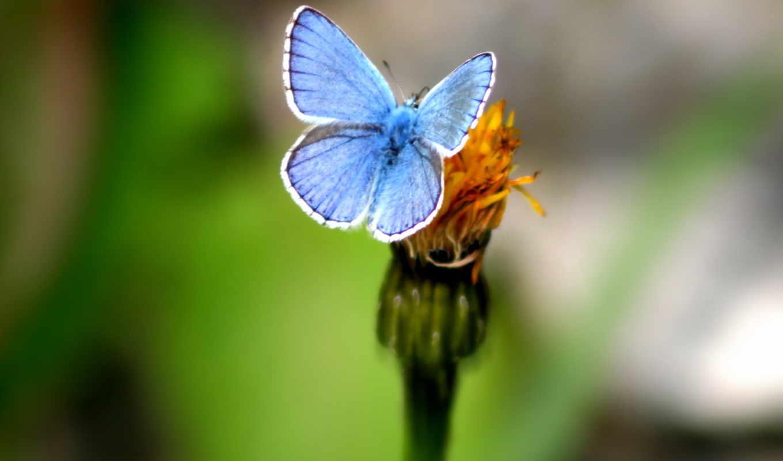 бабочка, голубая, красивая,