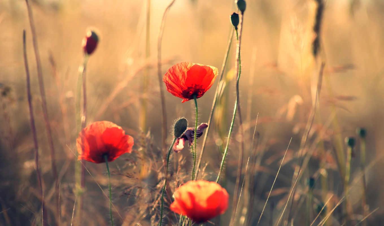 маки, summer, цветы, природа, поле,