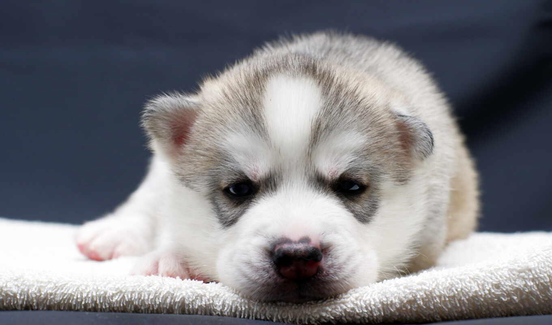щенок, собака, хаска, лошадь, animal, собрать, free, качественные, cute, fonwall