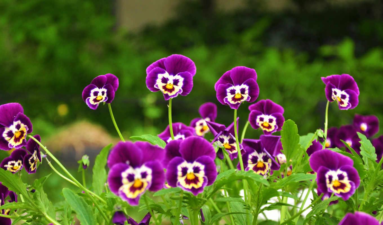 сиреневые, мордочки, трава, цветочки, flowers, картинка, funny, pictures, purple, мой, какое, глазки, боже, анютины, чудо, цветы, картинку, красивые, августа, кнопкой, плэйкаст, мыши, вас, друзья, вес