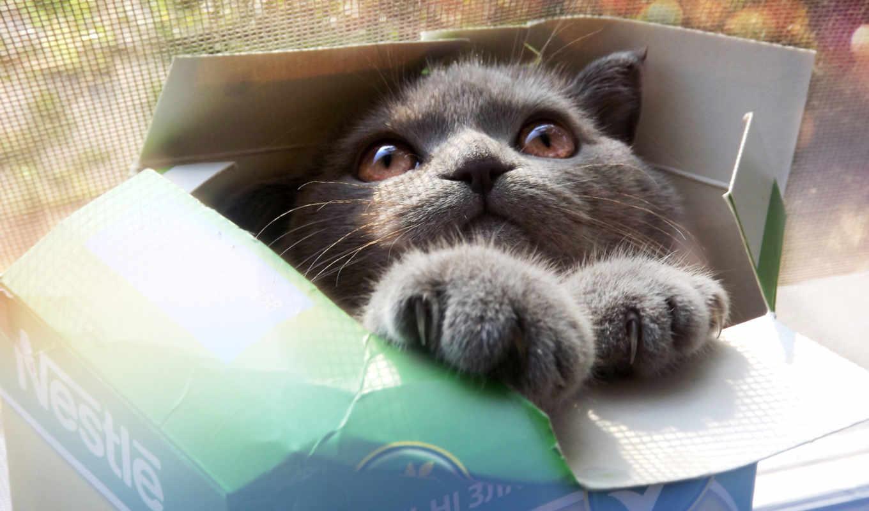 кот, глаза, серый, коробка, взгляд, животные, лапы, кошки, коты, коробке, морда,