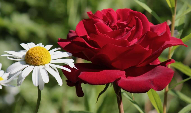 ромашки, цветы, крупным, макро, планом, розы, роза, ромашка,