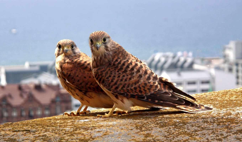 птица, kestrel, free, widescreen,
